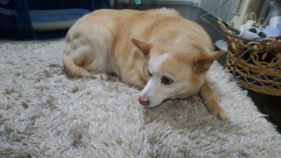 松戸市 ペットシッター 中型犬
