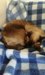 和ペット-wapet- スタッフ日記-ソファでお眠りウニちゃん