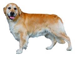 ペットシッター和ペット、犬種一覧、大型犬。