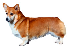 ペットシッター和ペット、犬種一覧、中型犬。